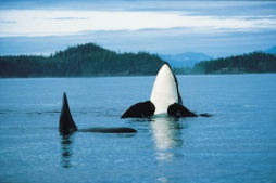 Orcas put on a spectacular show